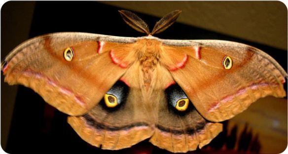 Moth with owl eyes